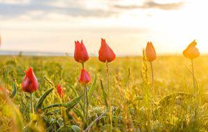 Дикие тюльпаны в заповеднике в Калмыкии