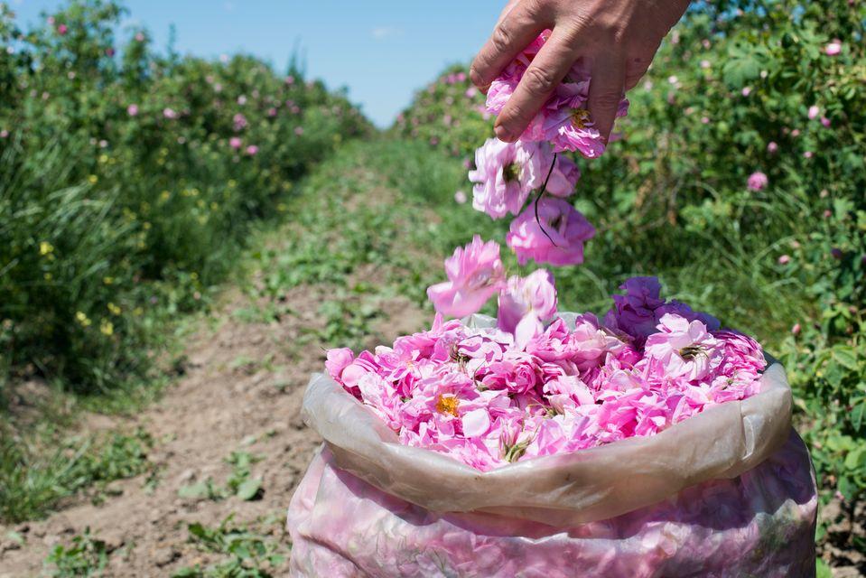 Розовые поля в Болгарии