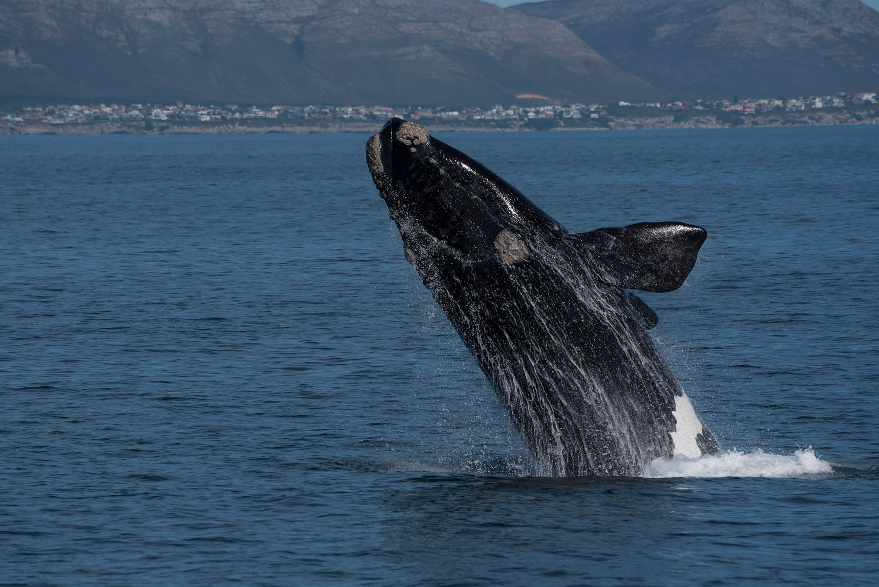 Whale breaching in Hermanus, one of the towns on South Africa's garden route