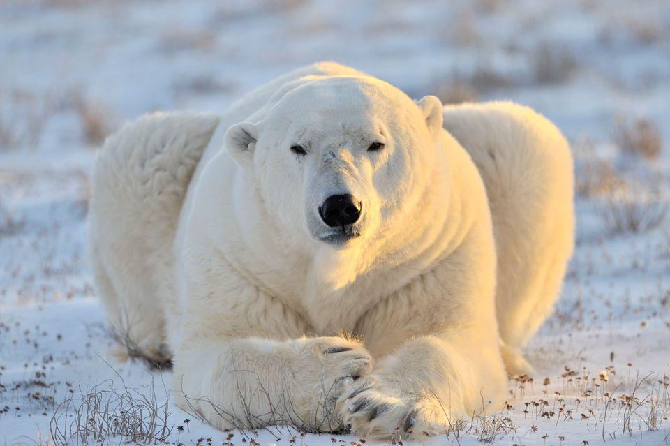 Если решитесь на круиз к острову Врангеля, увидите белых медведей
