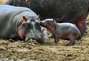 Семья бегемотов