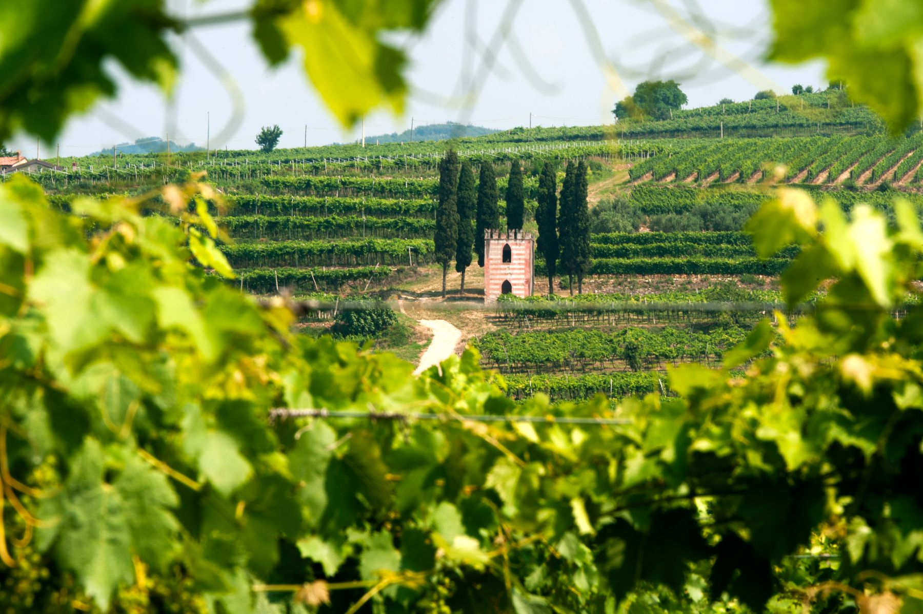 Looking through leaves into a hillside full of grapevines
