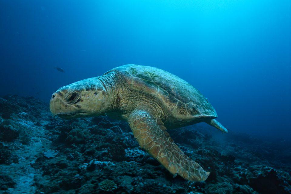 Χελώνα Καρέτα-Καρέτα κολυμπάει στον βυθό του Ιονίου.