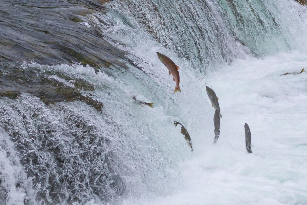 Salmons in a river