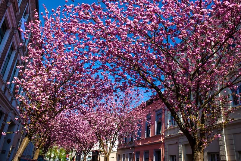 「ベートーヴェン・ハウス」(Beethoven-Haus)の近くの住宅街にあるヘーア通り(Heerstraße)の桜