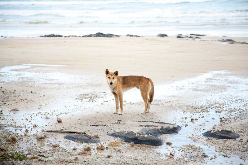 Dingo, Fraser Island, Australia