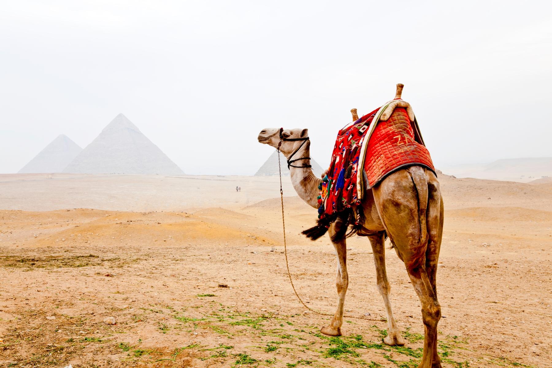 Верблюд в Египте на фоне пирамид в тумане. Египет входит в список «Страны с визой по прибытии для россиян»