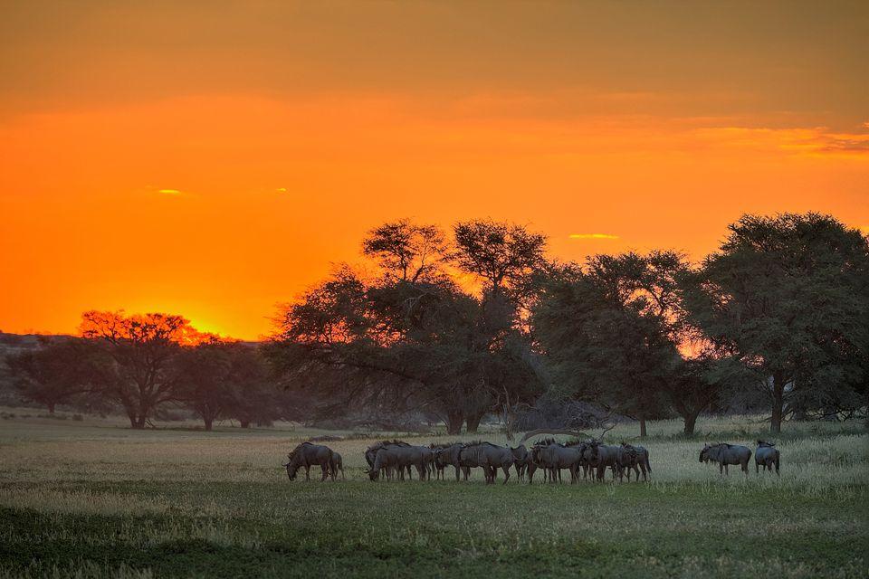 Άγρια ζωή στο Εθνικό Πάρκο Γκαλαγκάντι, Νότια Αφρική