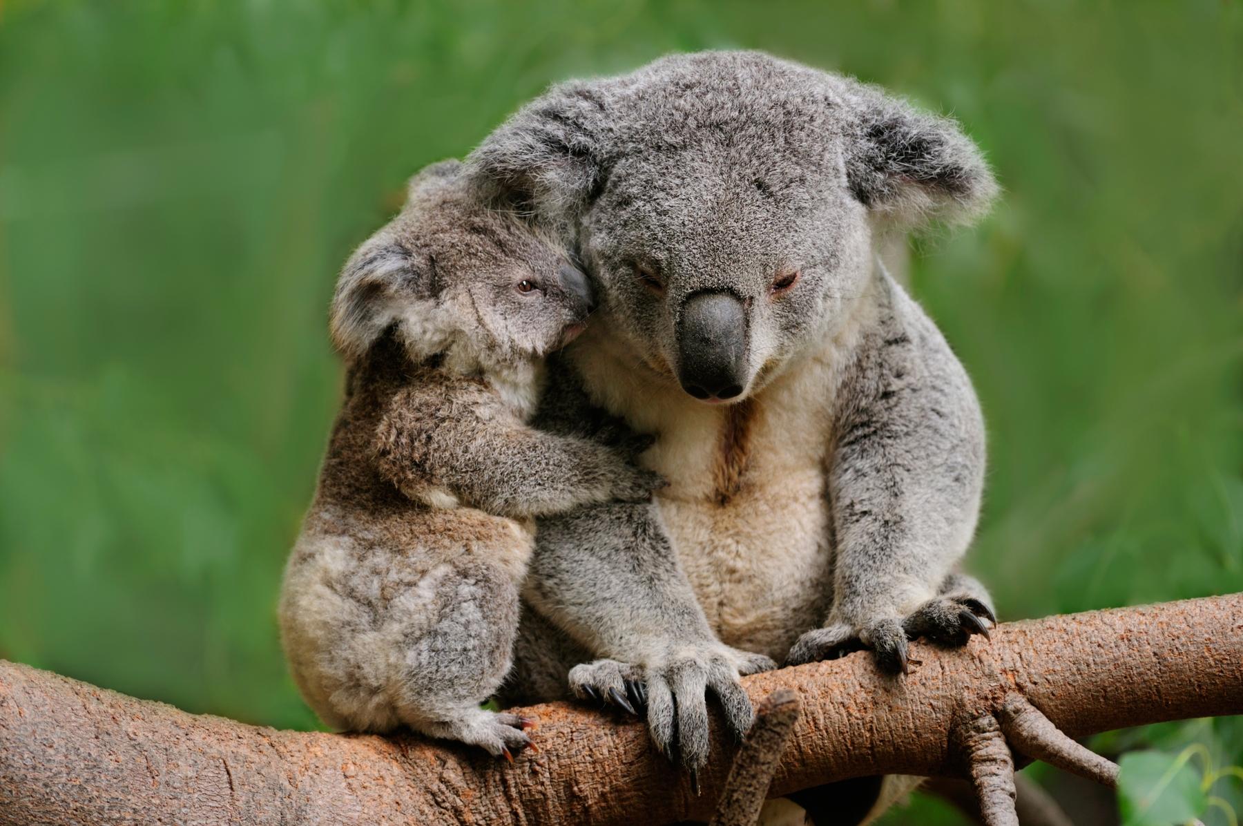 Mother and baby koala in Brisbane, Queensland