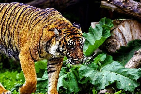Τίγρη στον Ζωολογικό Κήπο της πολωνικής πρωτεύουσας - ταξίδι στη Βαρσοβία