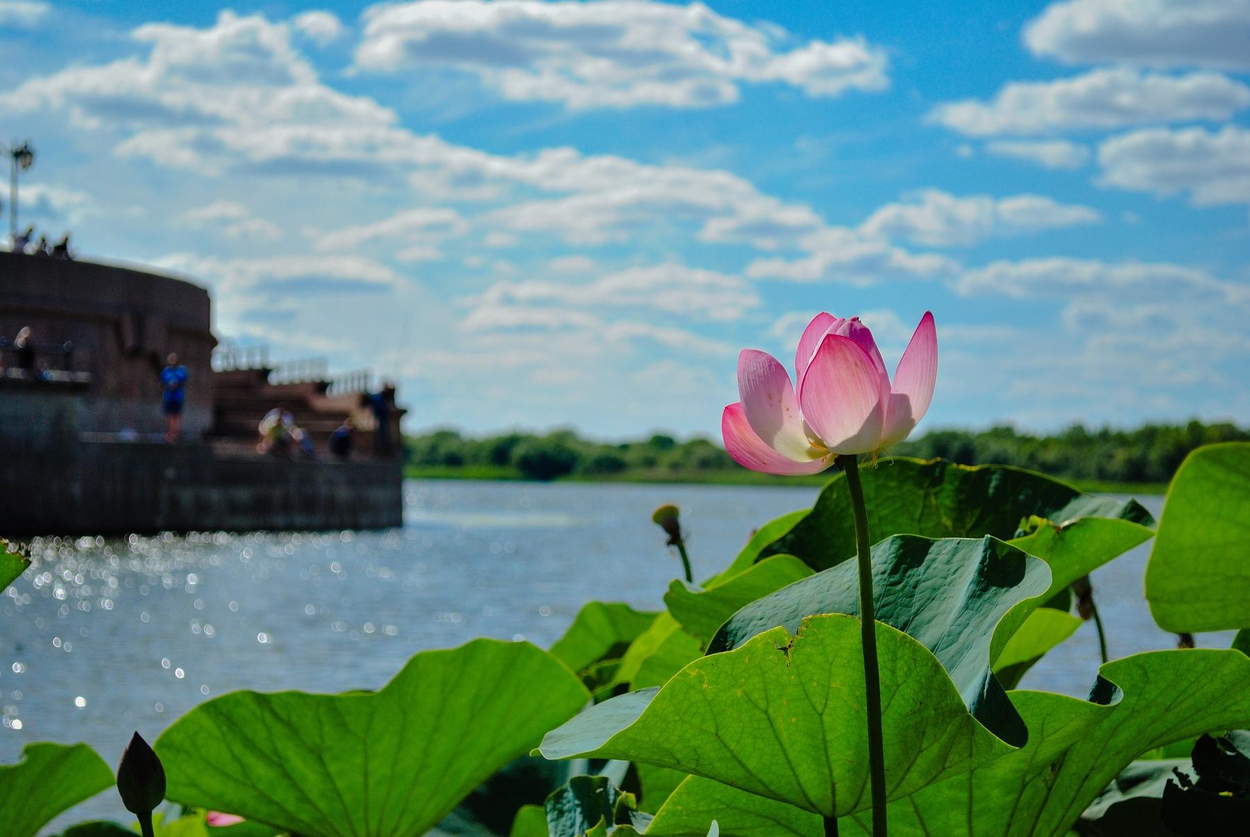 Лотос — один из символов Астрахани