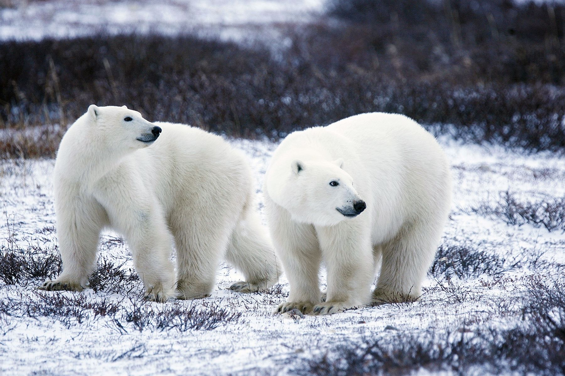 Watching live polar bear cams is one way to support wildlife ecotourism initiatives from home.