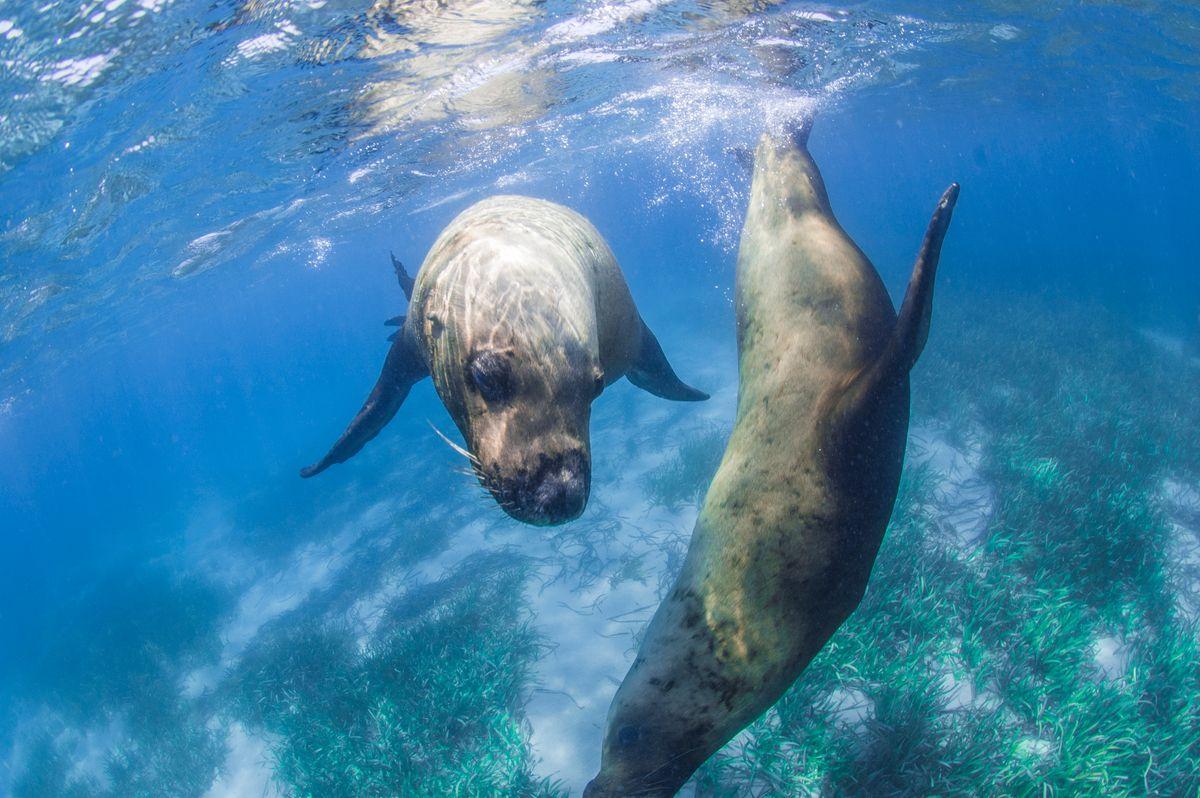 Φώκια Μονάχους-Μονάχους κολυμπάει στον βυθό του Ιονίου. Ίσως καταφέρετε να δείτε τις φώκιες σε ένα ταξίδι στη Ζάκυνθο