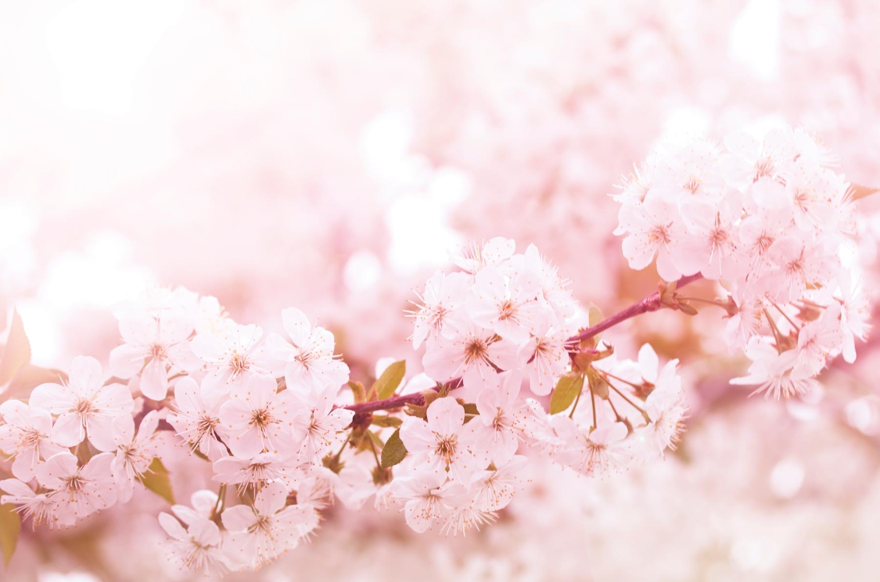 拉拉山完全複製了日本賞櫻的特色,各式櫻花在山谷間滿溢