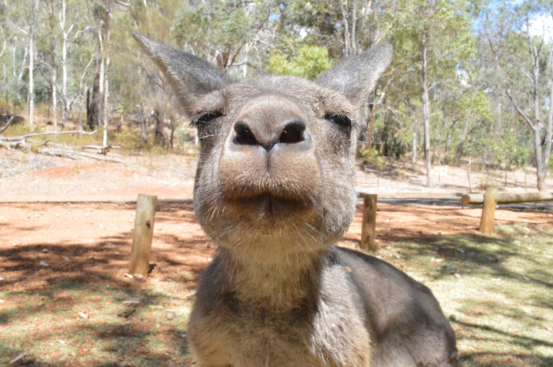 Get up close to the kangaroos of Kangaroo Island on a wildlife tour