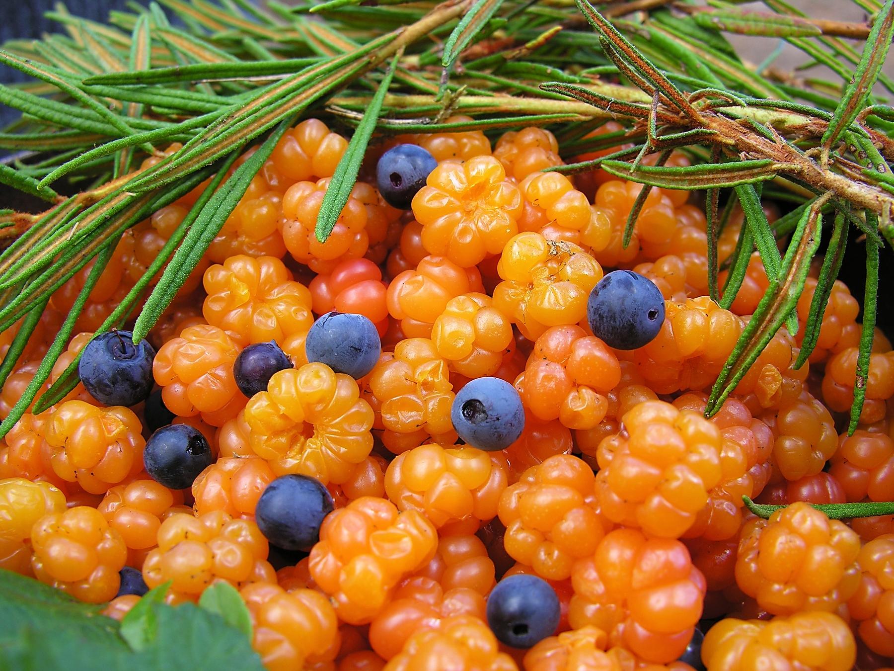 Северные ягоды морошка и черника в Карелии
