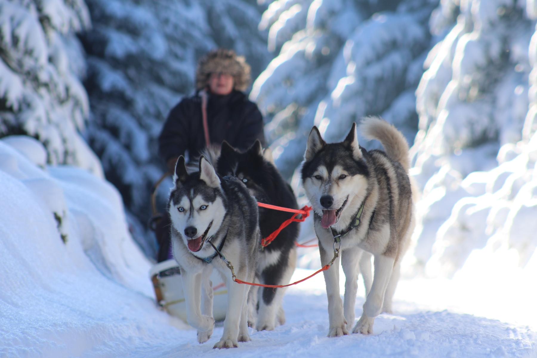 Urlaub im Thüringer Wald: Schlittenhunde