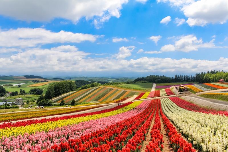 四季彩の丘(北海道) 文字通りの花の絨毯