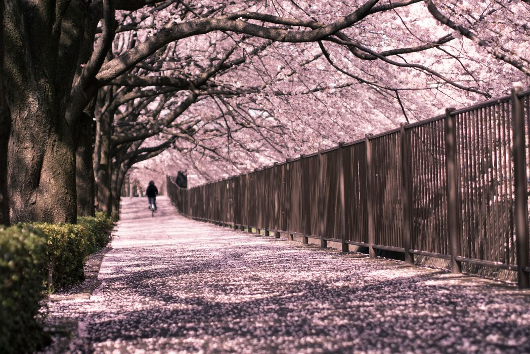 Cycling under the cherry blossoms - When is the best time to visit Japan in 2020