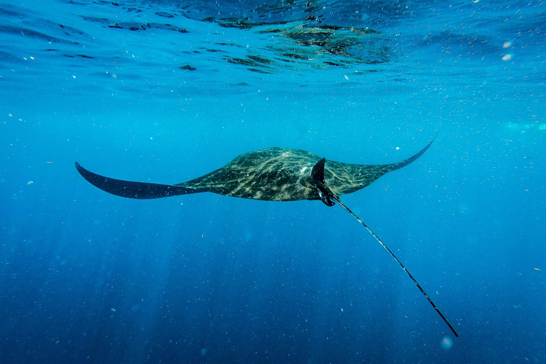Arraia no mar de Isla Mujeres