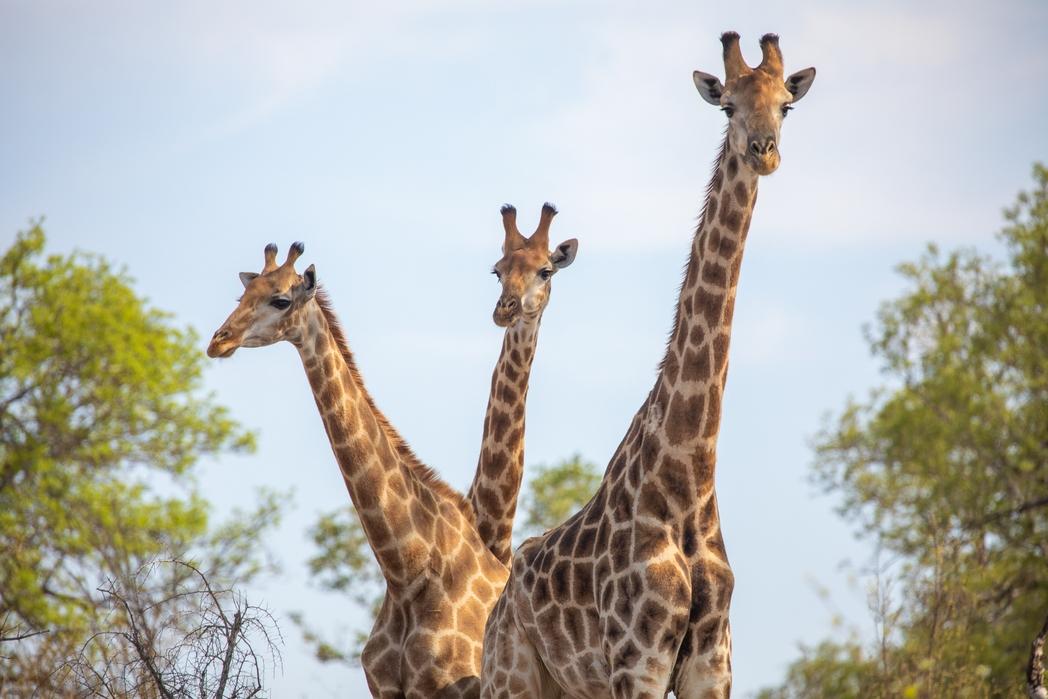 Καμηλοπαρδάλεις σε σαφάρι στην Αφρική - tips για βιώσιμο τουρισμό το 2020