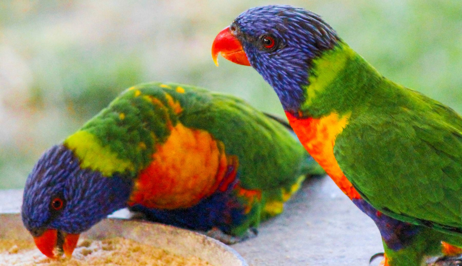 Lorikeets spotted near the best lakes in Victoria