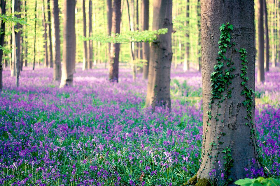 Колокольчики в бельгийском лесу