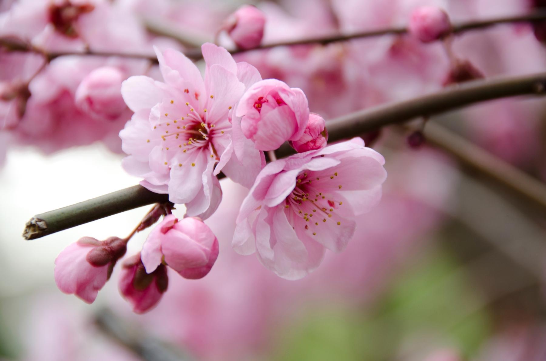 陽明山的櫻花多為寒櫻,色彩會隨著花開逐漸由淡粉色轉為深紅