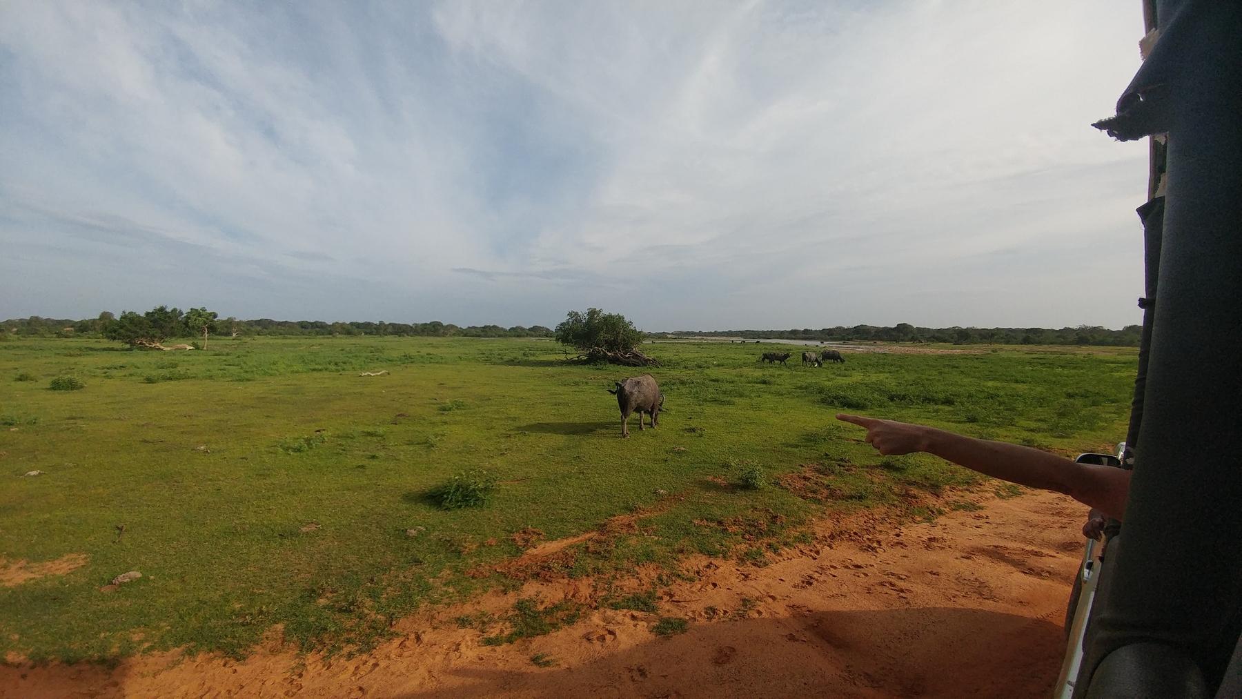 buffalo and a grass field in Sri Lanka