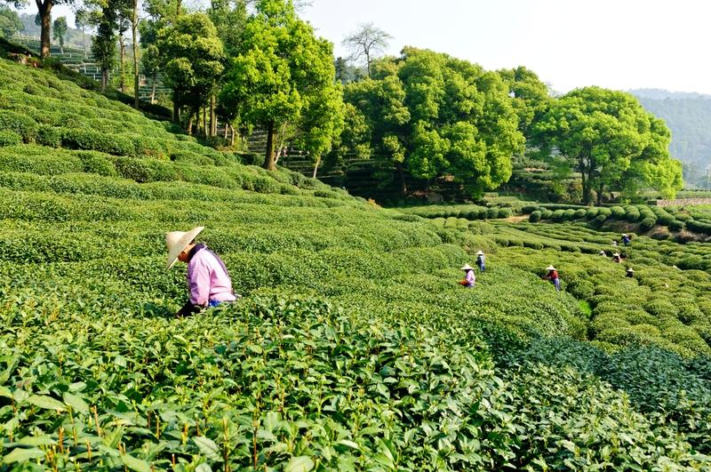 Китайские женщины собирают зеленый чай Лунцзин на чайных плантациях в Ханчжоу, провинция Чжэцзян, Китай