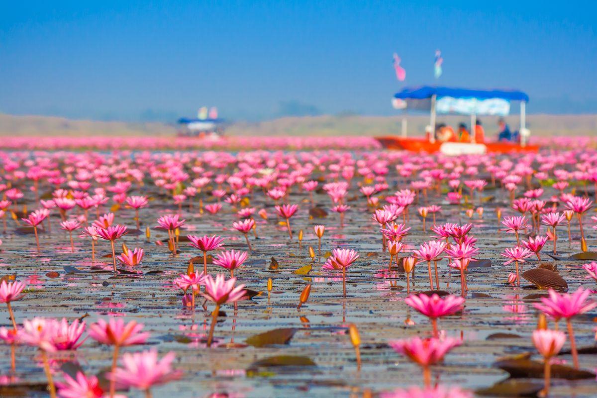 Озеро Нонг-Хан, или Море красных лотосов, Таиланд