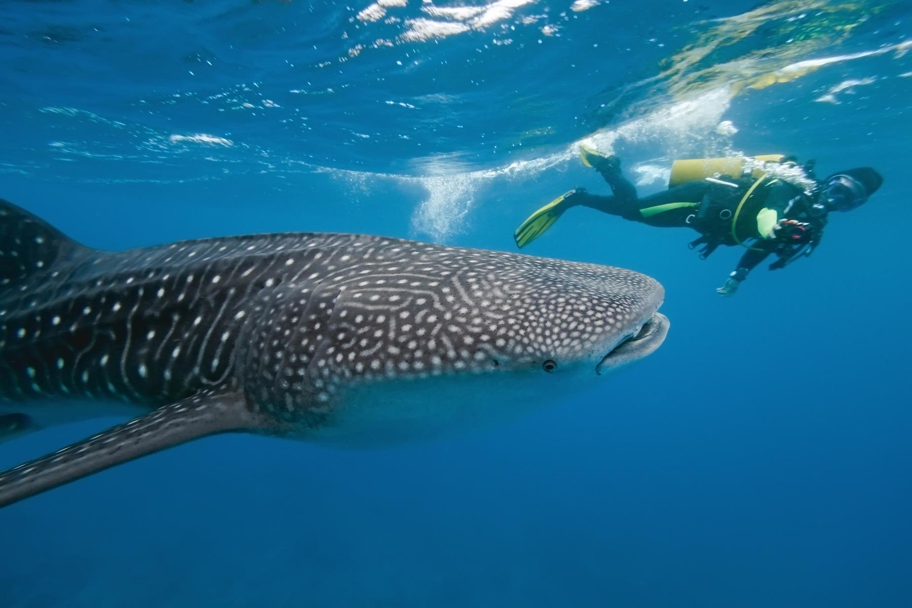 Mit Walhaien tauchen auf den Malediven