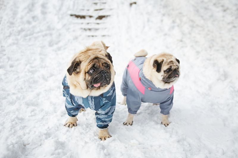 two pugs walking in the snow