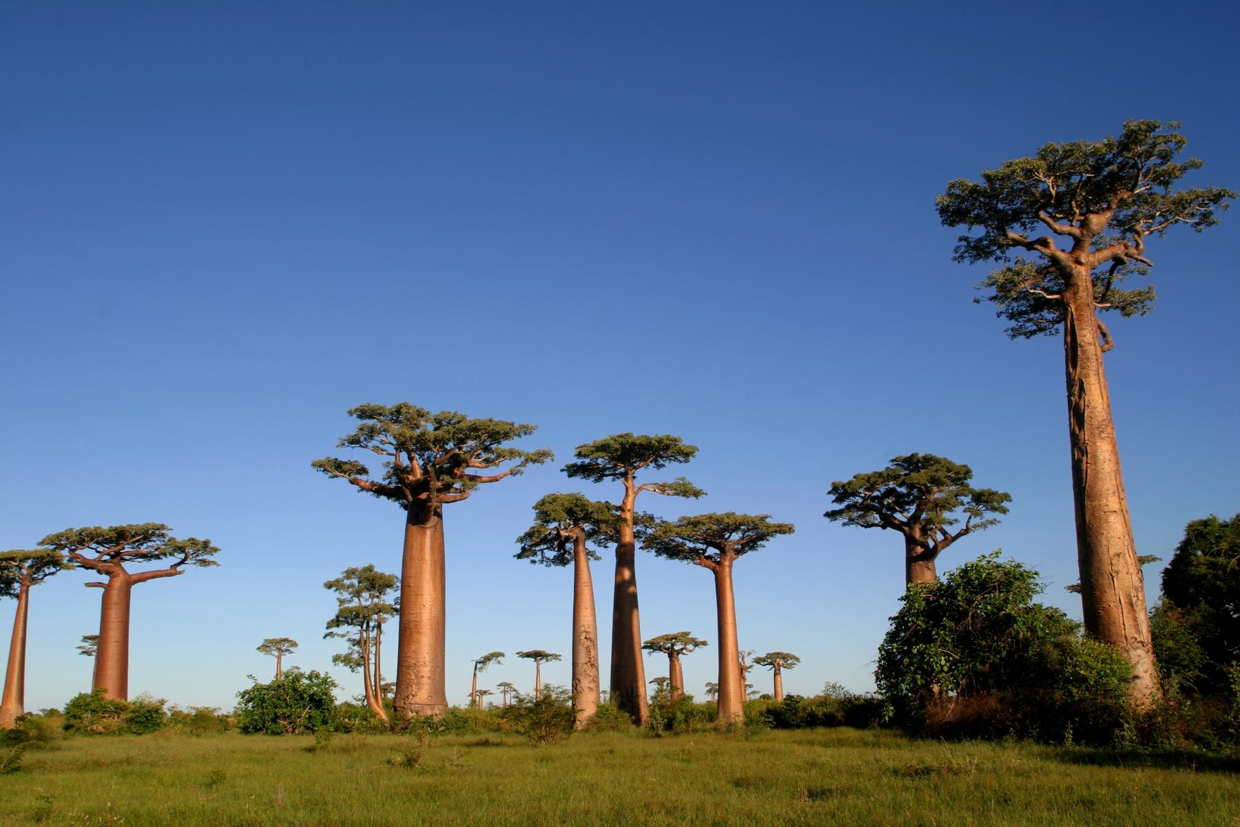 El bosque de baobabs es una de las sorpresas de Tulear, en el sur de Madagascar