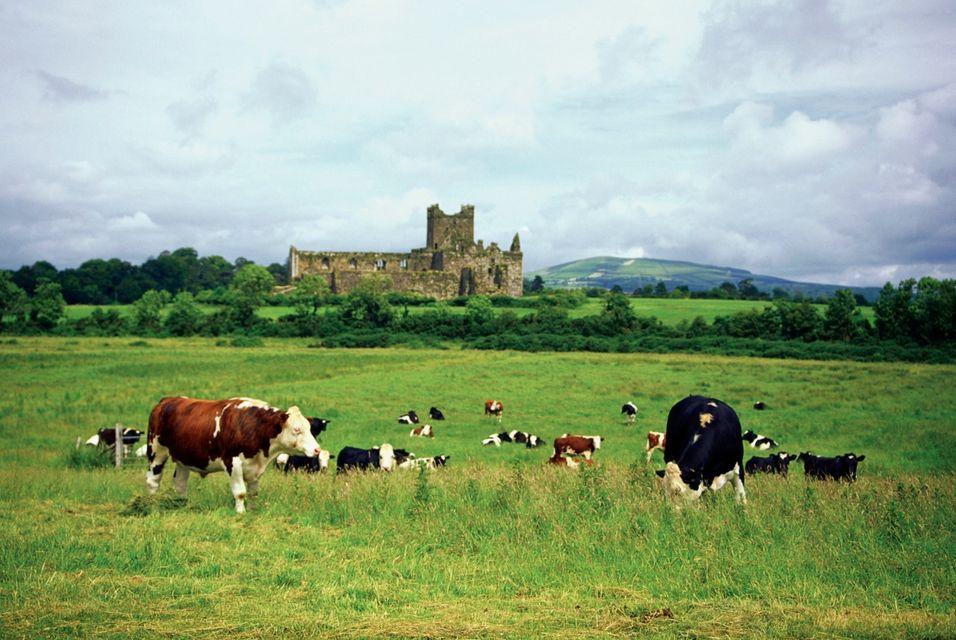 Cows in the Irish countryside