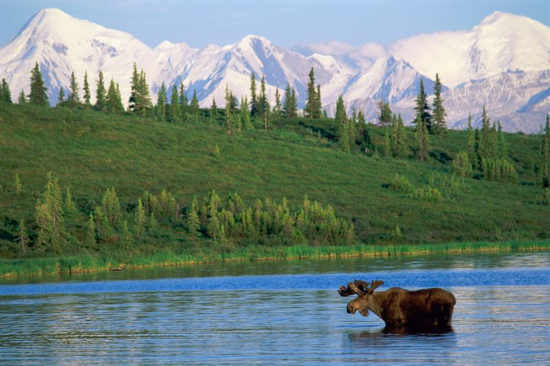 A moose in a lake surrounded by greenery and mountains