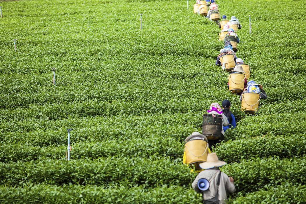 Workers in Tea Country