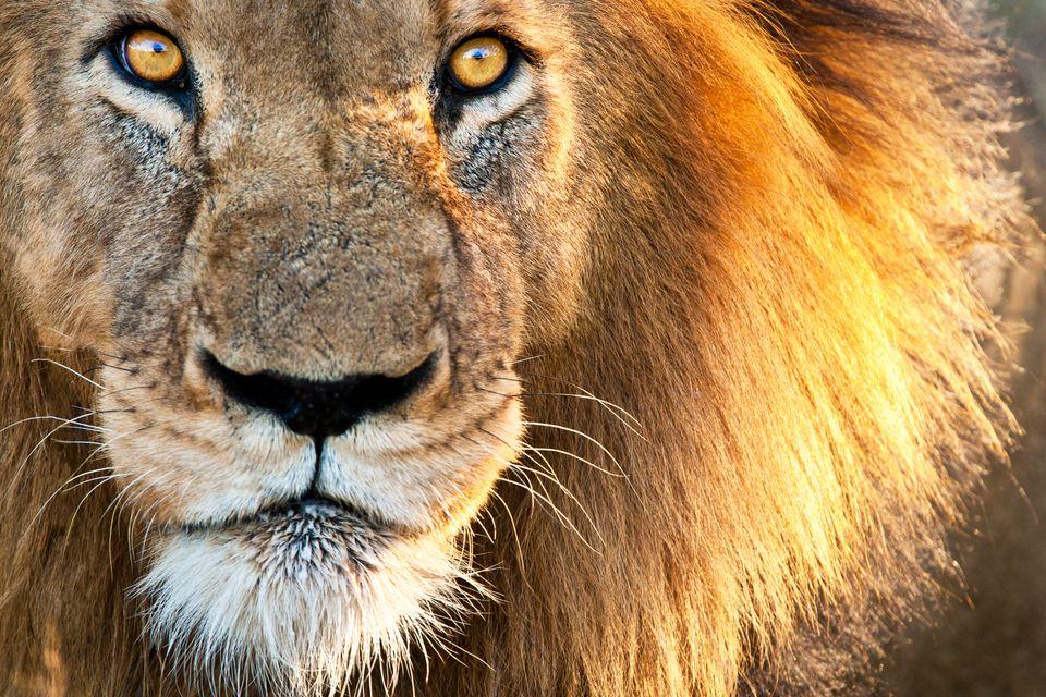 Λιοντάρι σε κοντινό πλάνο