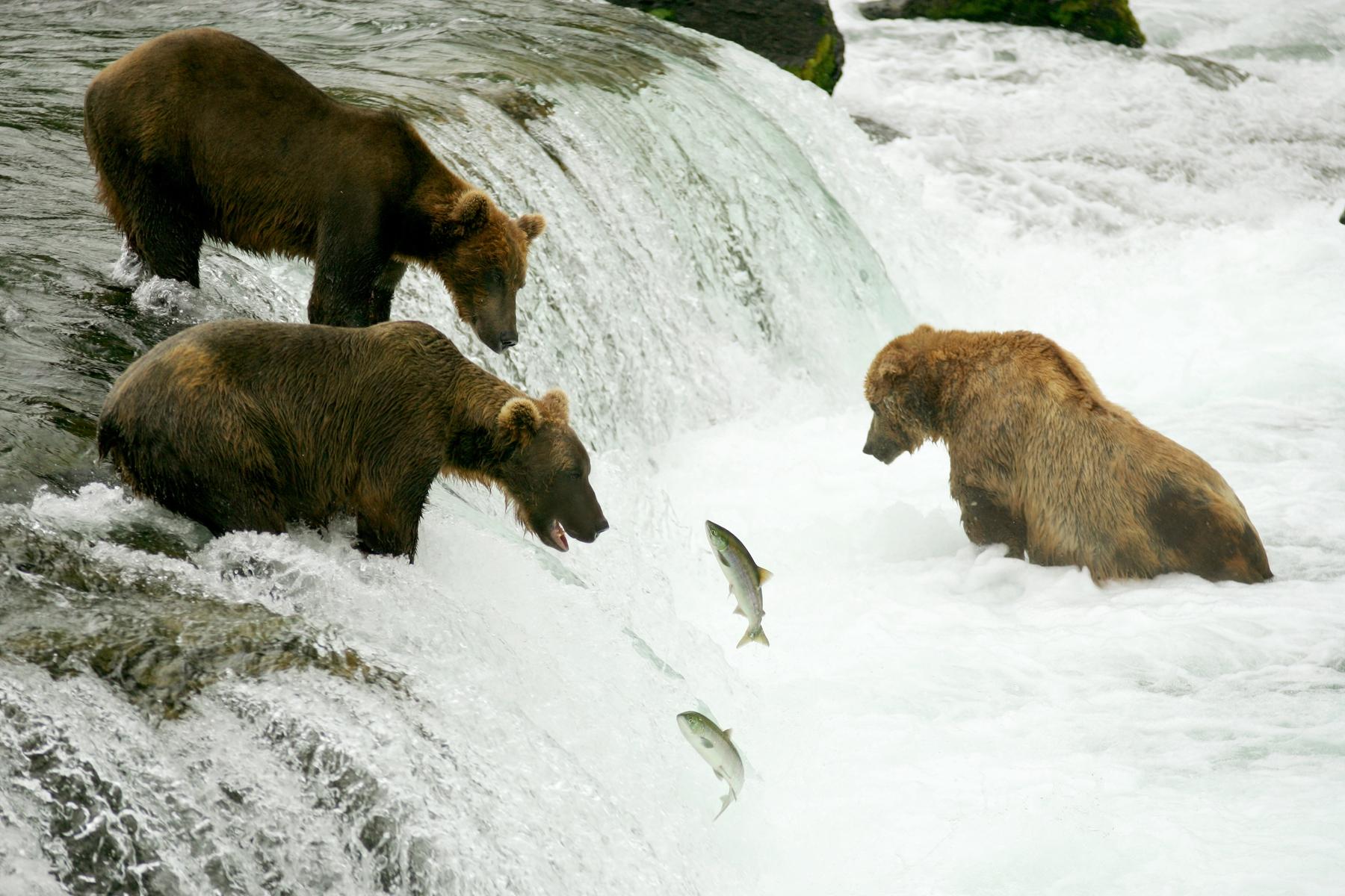 bears catching fish