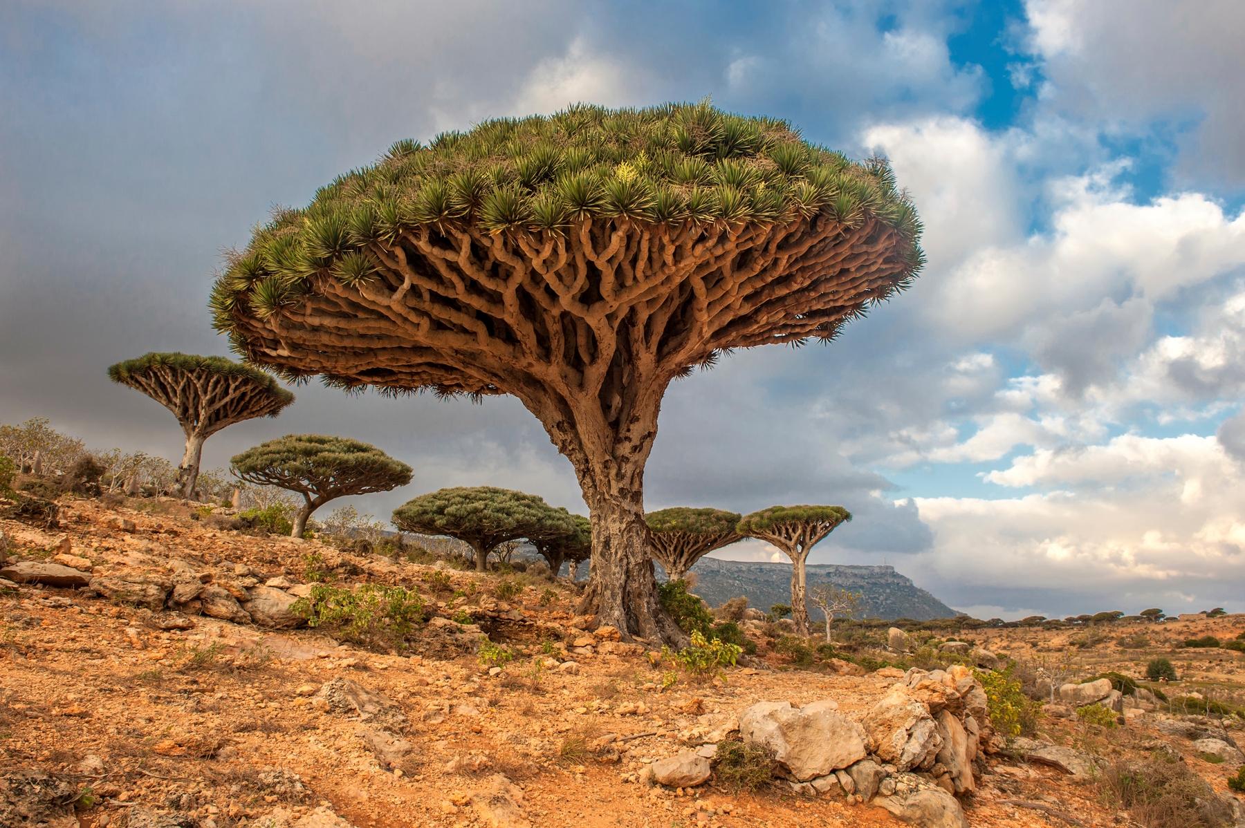 Драцена киноварно-красная,  также Драконово дерево Сокотры (лат. Dracaena cinnabari), — древесное растение, вид рода Драцена (Dracaena) семейства Спаржевые (Asparagaceae). Эндемик и символ острова Сокотра, источник красной смолы «драконова кровь»