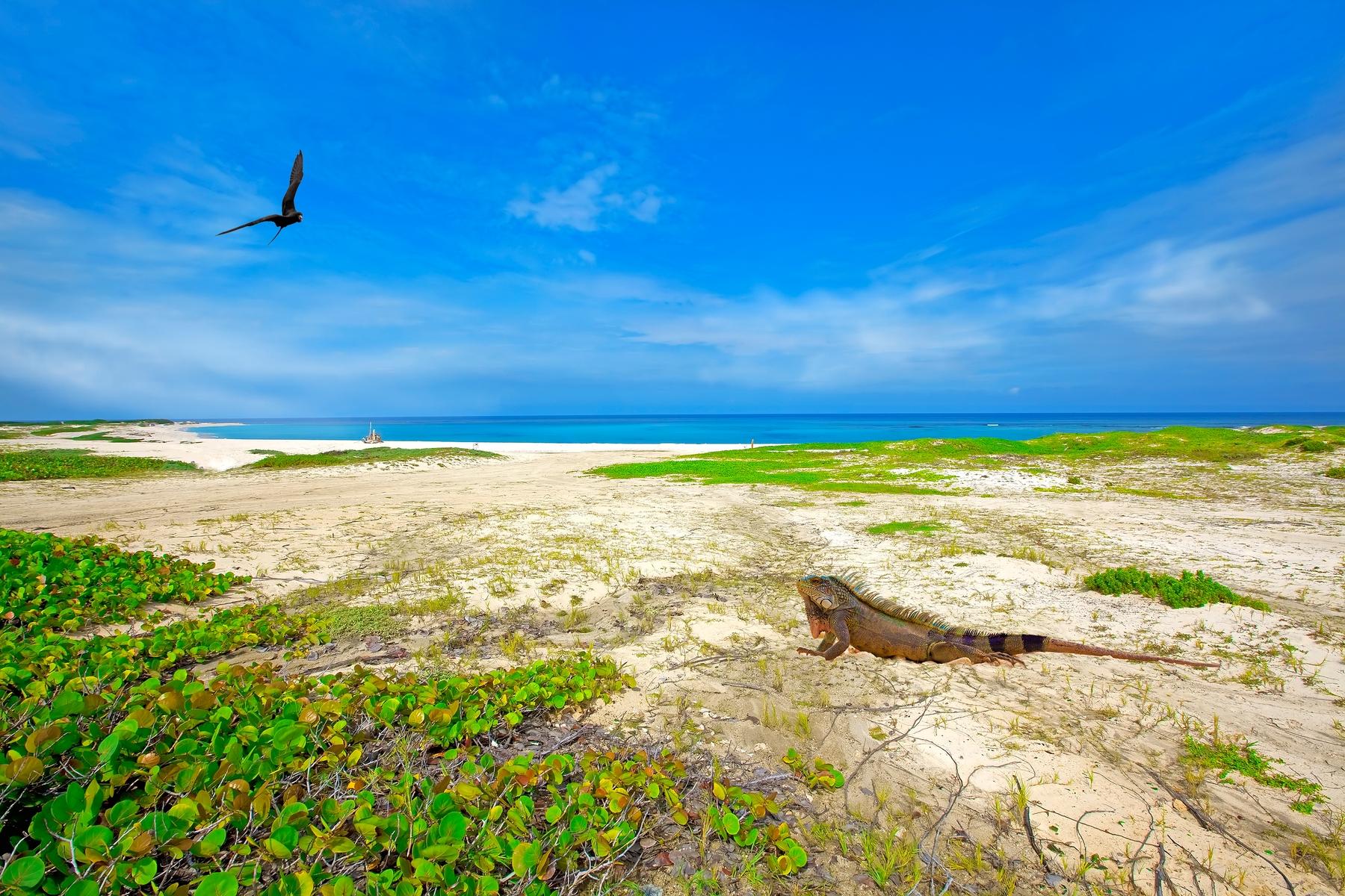 Игуана на пустынной территории острова Аруба – так выглядят неизведанные места.