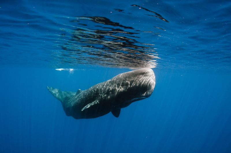 Spermwhale, Sri Lanka