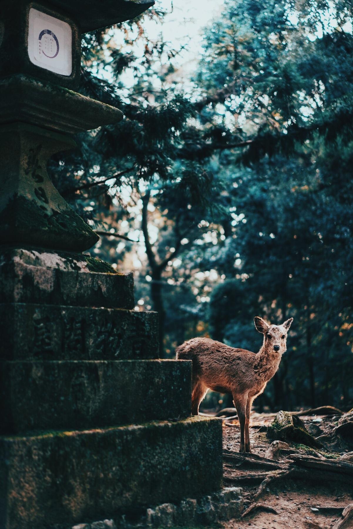 Ελάφι δίπλα στο Πάρκο Nara της Ιαπωνίας - συμβουλές για βιώσιμο τουρισμό