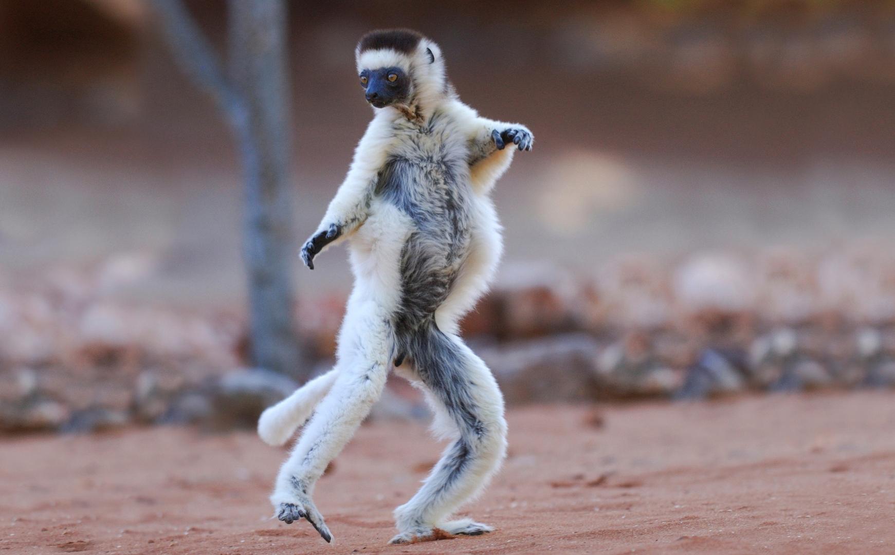 Забавный лемур на острове Мадагаскар