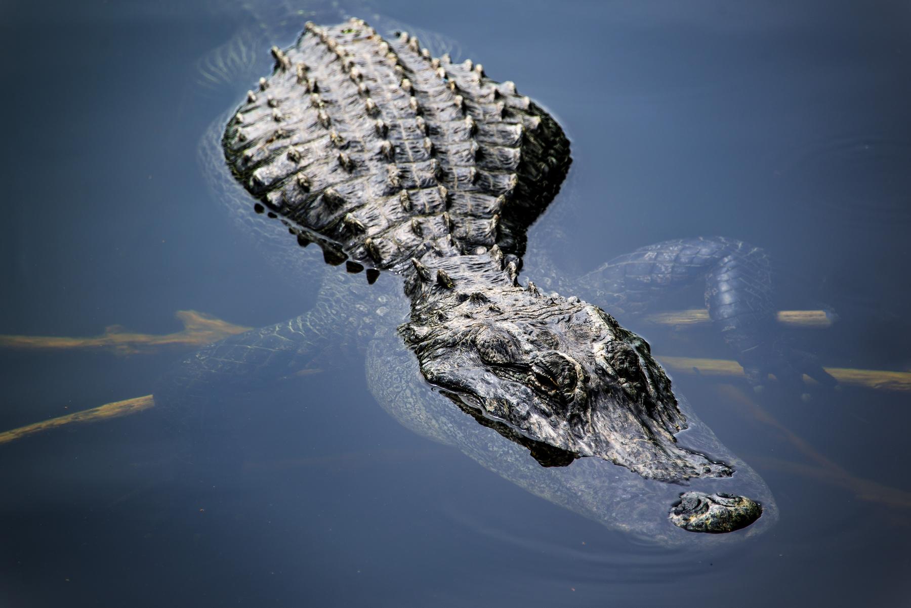alligator outdoor activities in Florida