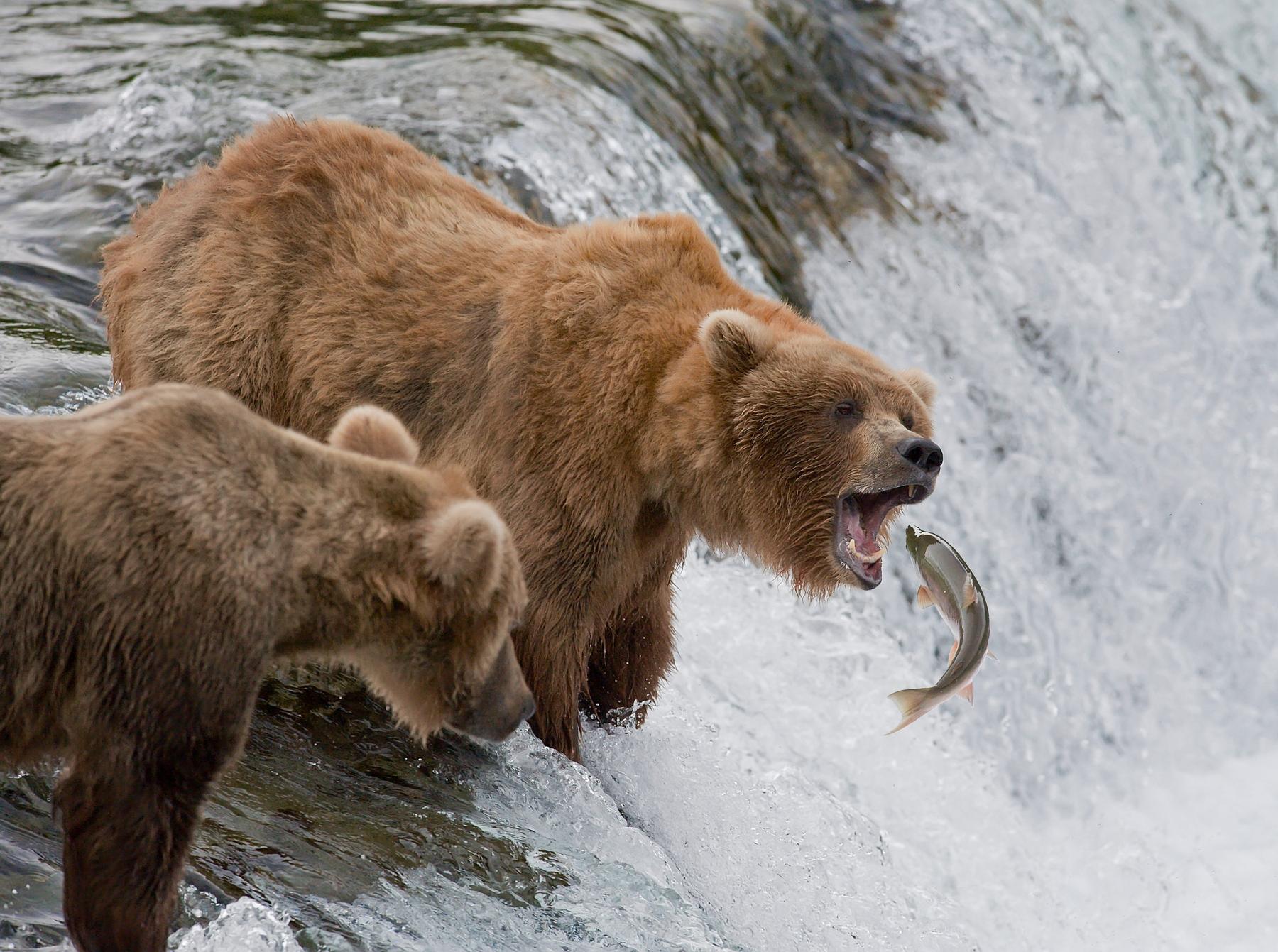 Медведи рыбачат на Аляске