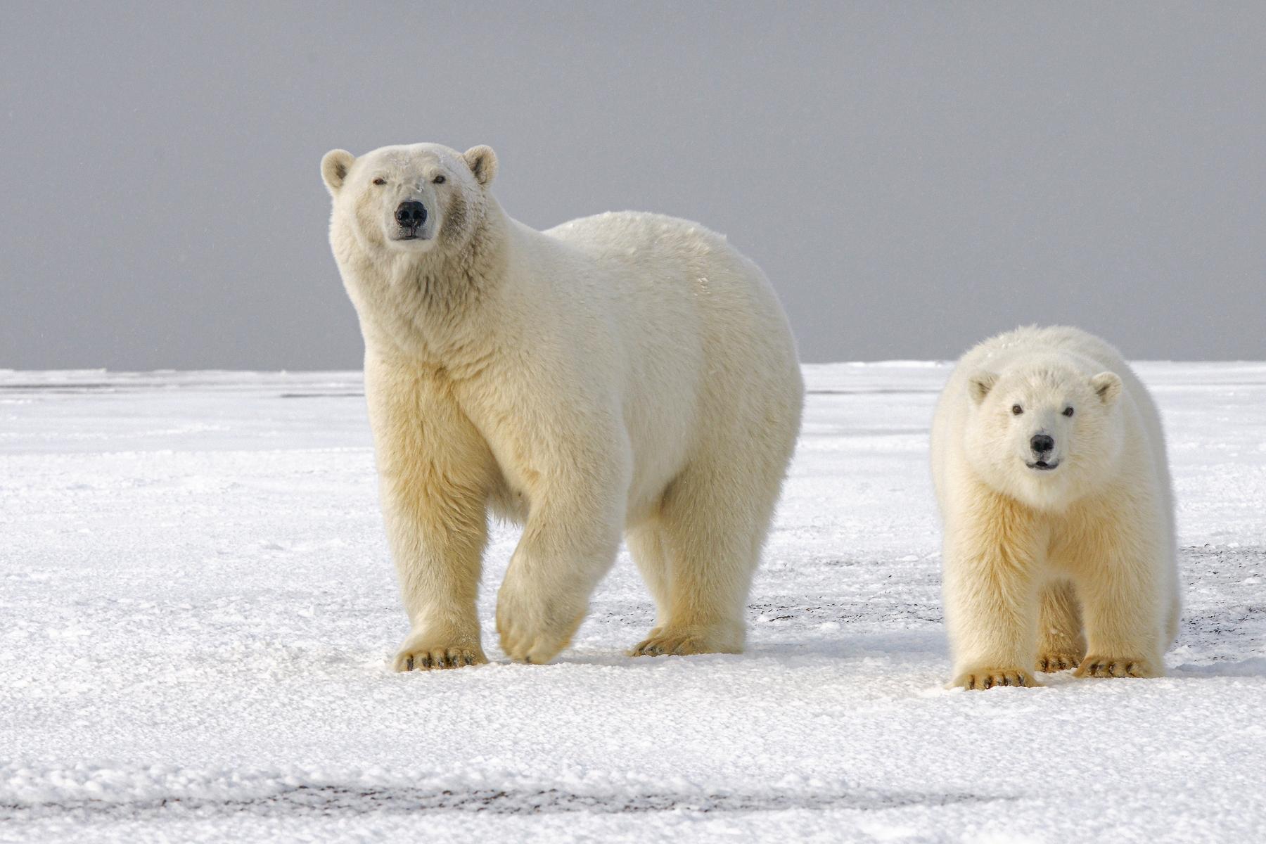 Ein Länder-Faktum, das ihr vermutlich noch nicht kennt: Rund 1.000 Eisbären ziehen jedes Jahr in die kanadische Stadt Churchill im nördlichen Manitoba, um die Sommermonate zwischen Juli und November hier zu verbringen.