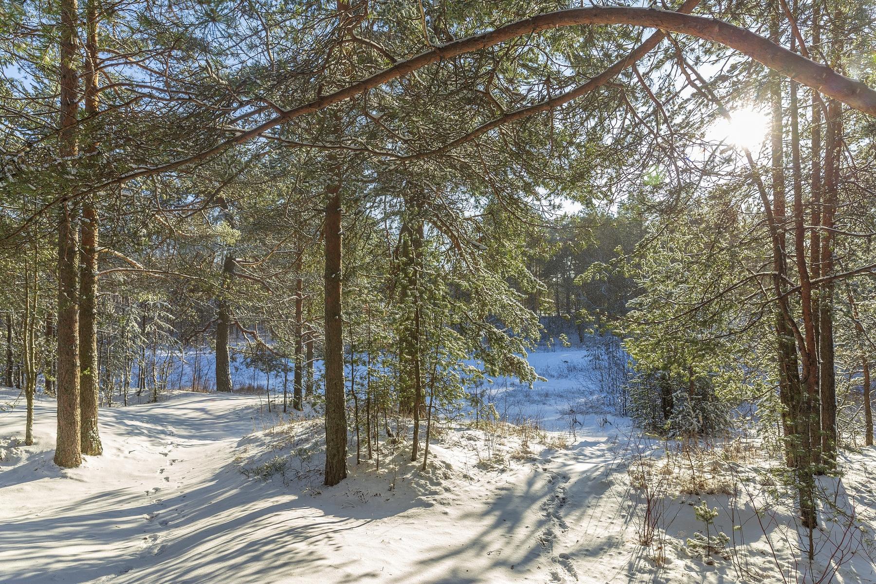 Лес в Сестрорецке