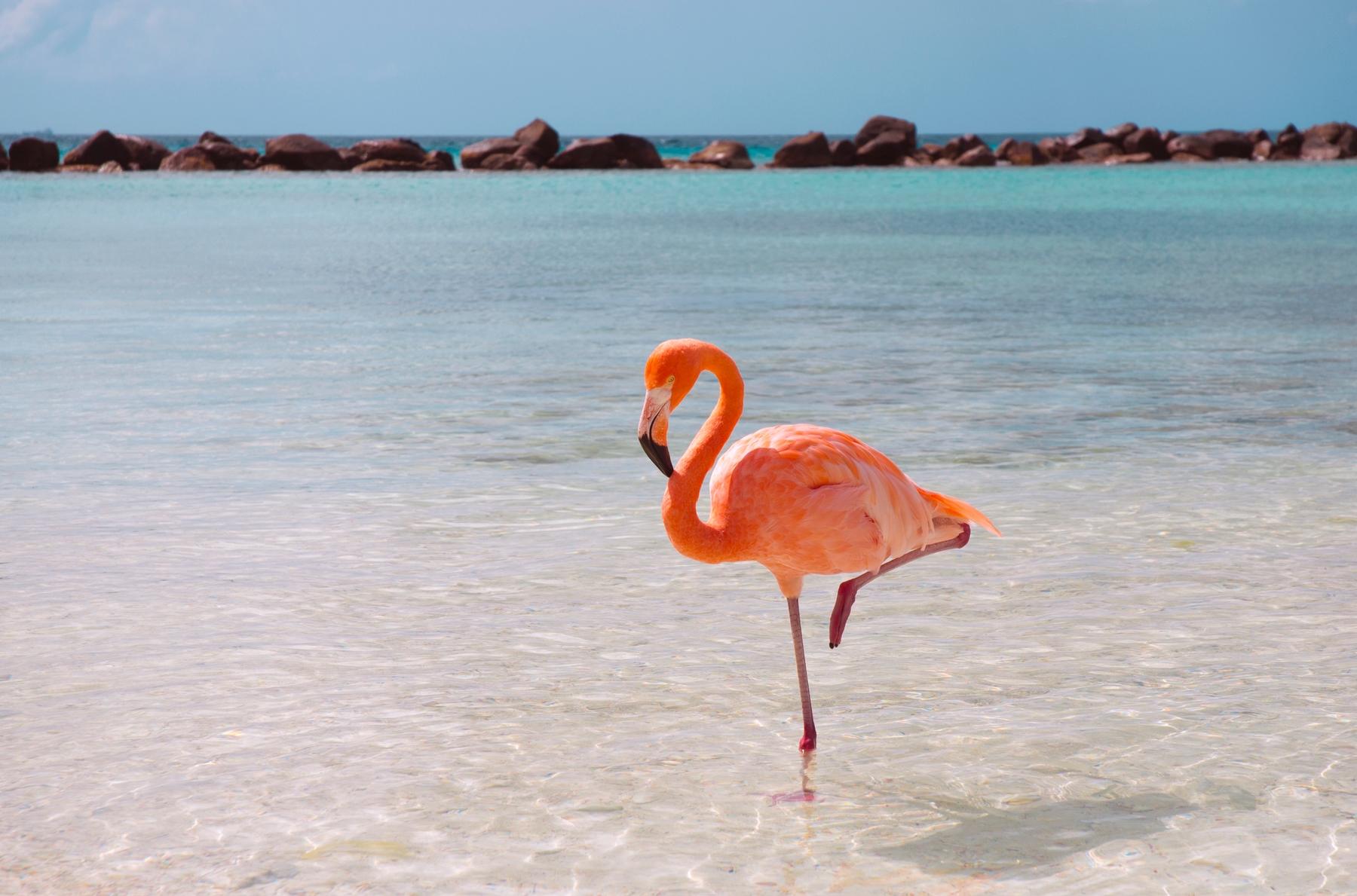 Flamingo em Aruba