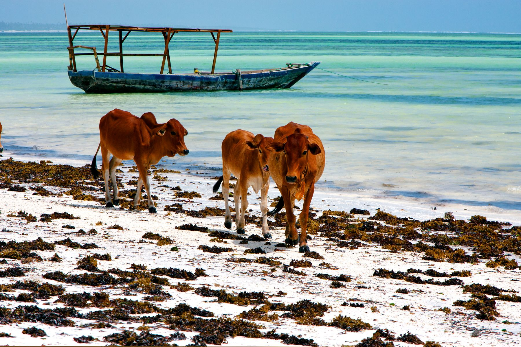 Boats and cows chilling at the Blue Lagoon in Zanzibar